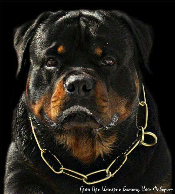 You Re Mine Rottweiler Dog Breeds Dogs