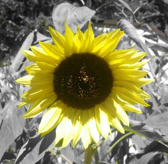 Sunflower using yellow filter