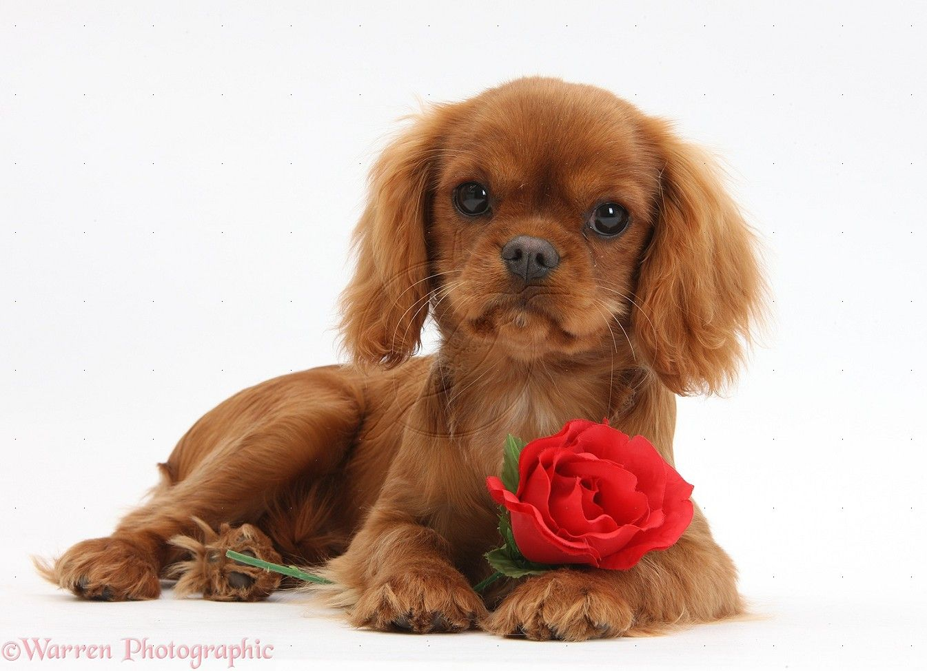 Rare Ruby Cavalier King Charles Spaniel Pup Animaux Adorables Chien Animaux
