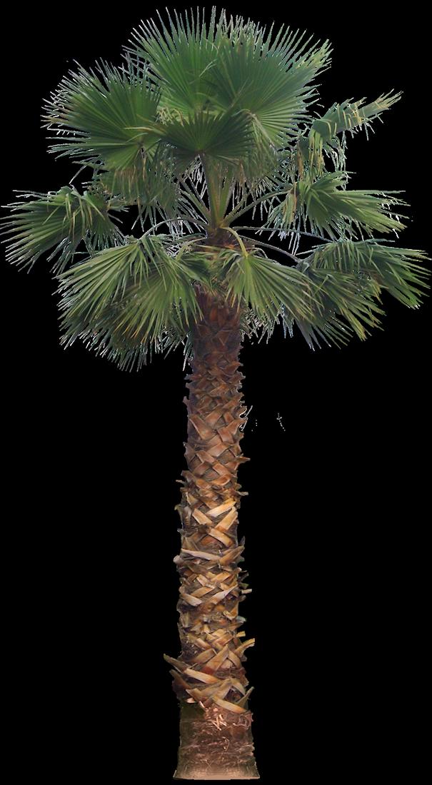 California Palm Trees http://www.guzmansgreenhouse.com/desert-shrubs/desert-landscape.htm
