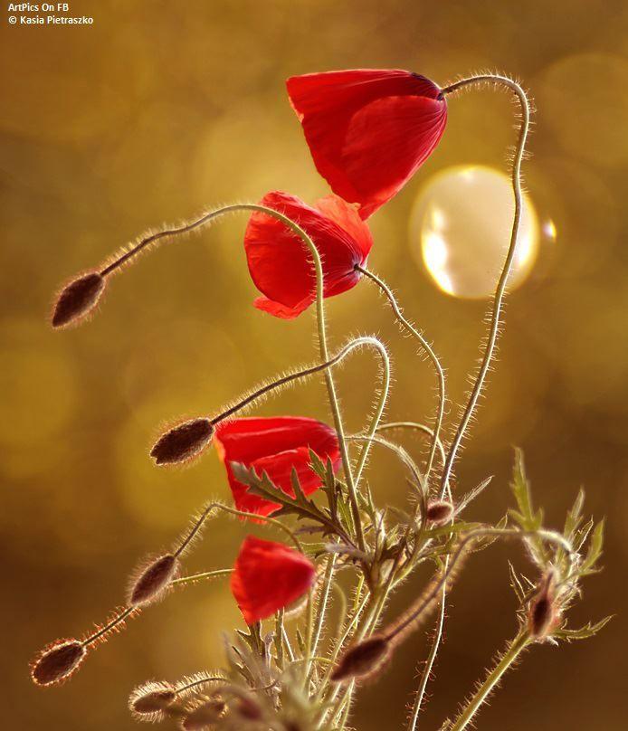 308082 427598450643625 1047629008 N Jpg 694 808 Beautiful Flower Tattoos Botanical Flowers Poppy Flower