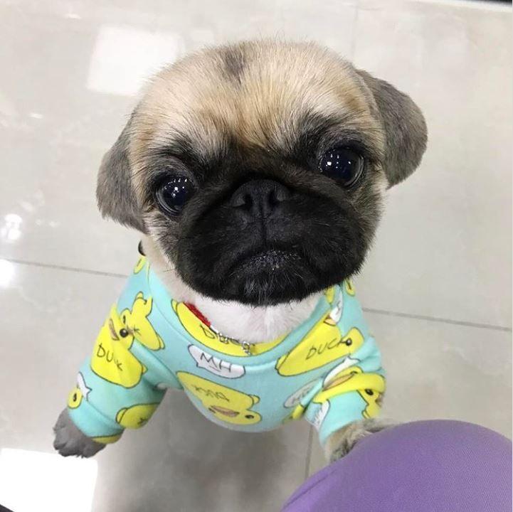 Duck Print On A Silly Pug Baby Pugs Cute Pugs Cute Pug Puppies