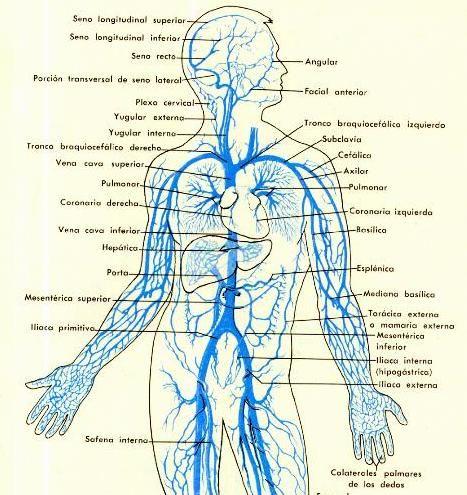 Sistema venoso tronco y brazos. | Sistema cardio- circulatorio ...