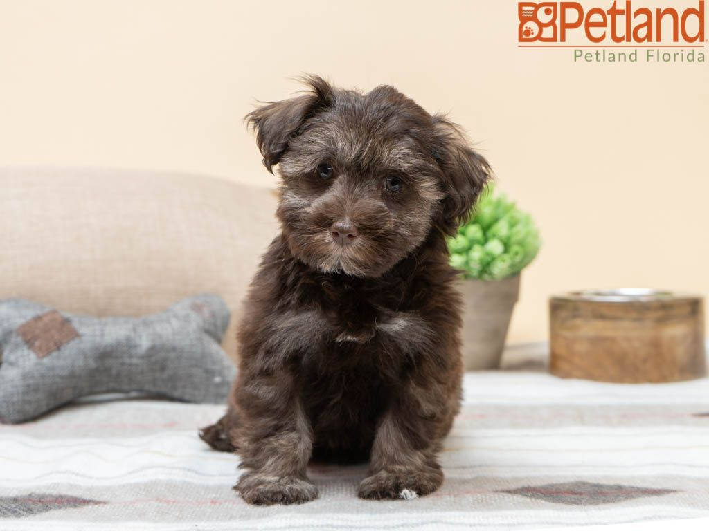 Petland Florida Has Schnoodle Puppies For Sale Check Out All Our Available Puppies Petlandkendall Puppy Friends Schnoodle Puppies For Sale Schnoodle Puppy