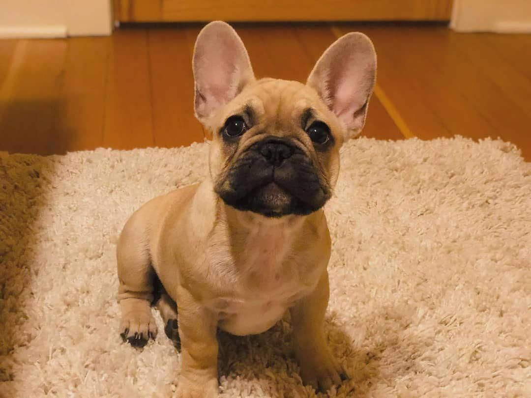 Brown frenchie cute baby dogs french bulldog puppies