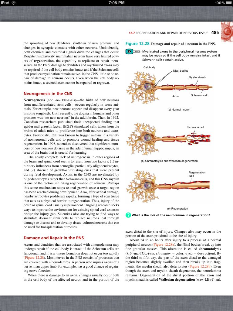 Principles of Anatomy and Physiology, Chapter 12, Nervous Tissue, 39 ...