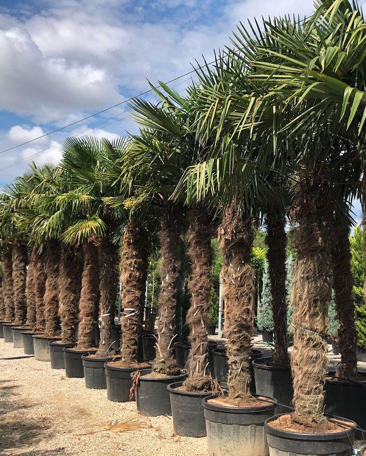 Trachycarpus Fortunei Bis 17 C Palmen Schartners Webseite In 2020 Winterharte Pflanzen Garten Palmen Garten Winterharte Palmen