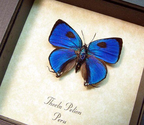 Real Framed Butterfly Thecla Pelion Blue von REALBUTTERFLYGIFTS