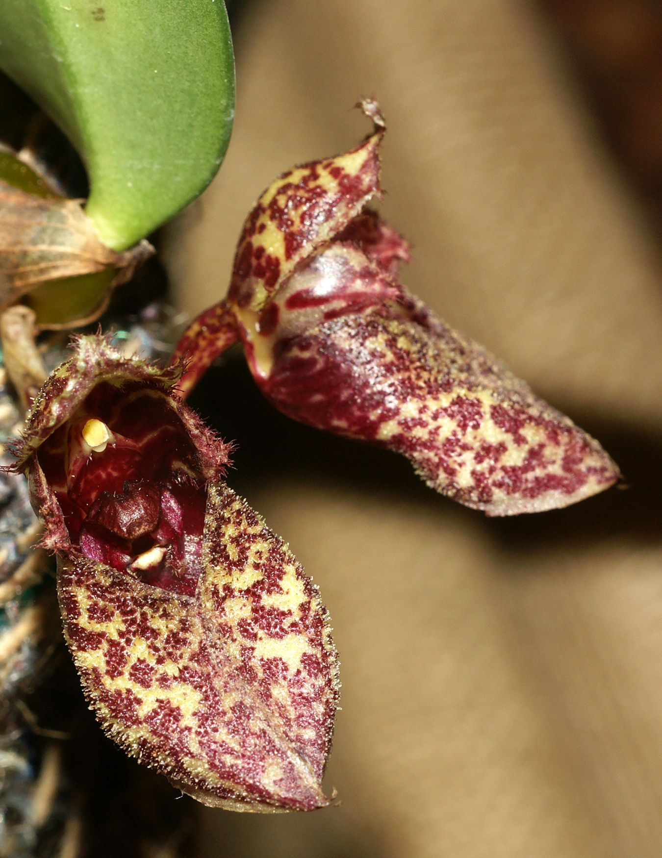 'Orchid-Mimicry' - Flowers of Bulbophyllum frostii - Not some fancy-footware - Exhibition: 15. European Orchid Congress - Dresden 2009; Photo by Orchi