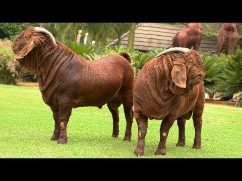Pakistani Beautiful Goats For Qurbani 2017 | Bakra Eid - Pakistani
