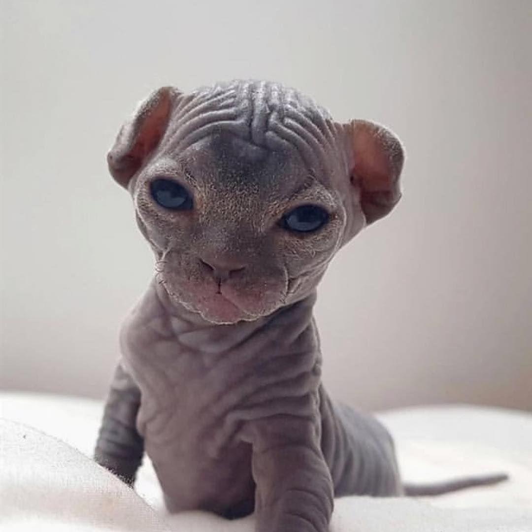Good Morning Thanks To Good Morning Thanks To Sphynx Bibi Source Cute Hairless Cat Gorgeous Cats Baby Animals