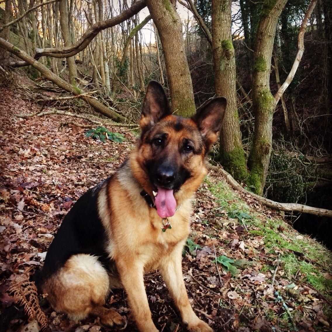 Gsd Madi German Shep Shepherd Dog Dogs