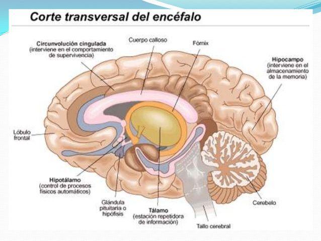 el-encefalo-sus-partes-y-funciones-23-638.jpg (638×479) | dibujos ...