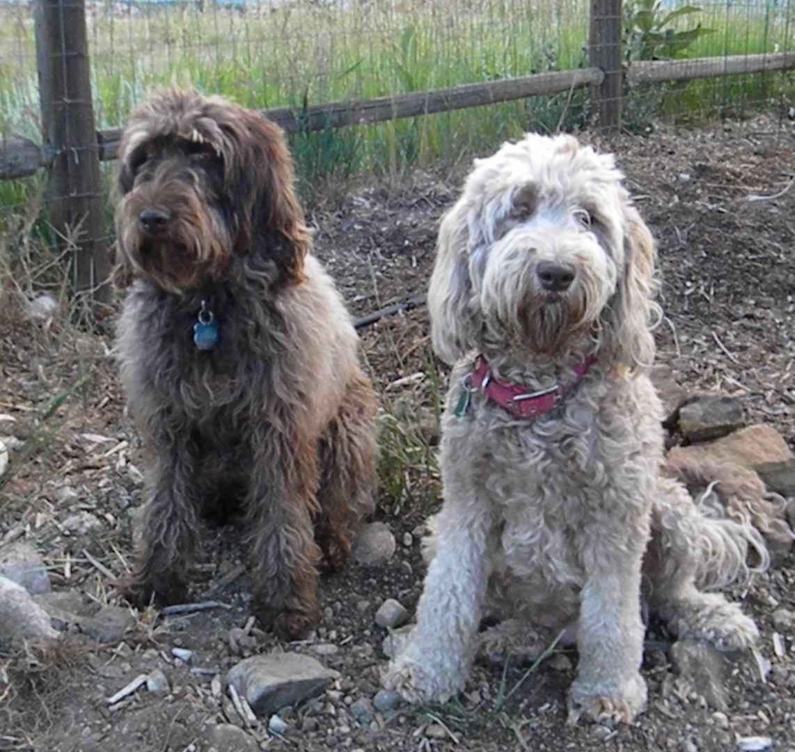 Chloe and Sy. Multi-gen Australian Labradoodle full sisters from ...