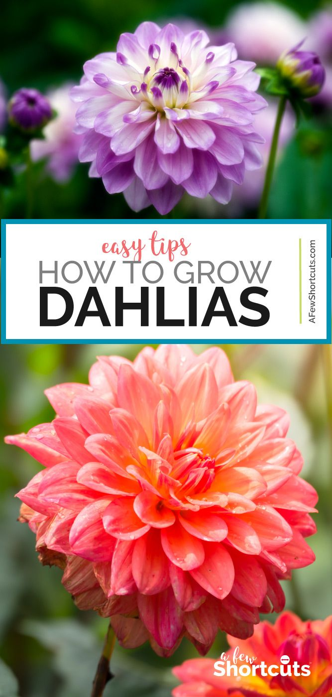 Photo of How to Grow Dahlias – Easy Tips for Beautiful Flowers