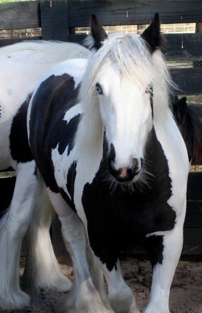 Gypsy Vanner horse named Bette Davis in the round pen. - Mare