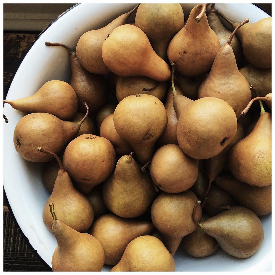 Golden pears in a large white ceramic bowl. Just in time for autumn desserts. Fall harvest bounty.