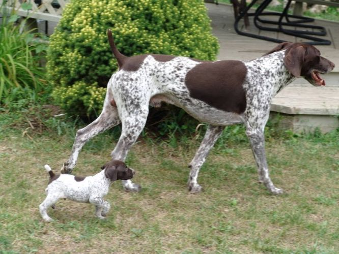 Image Gallery For German Shorthaired Pointer Puppy For Sale