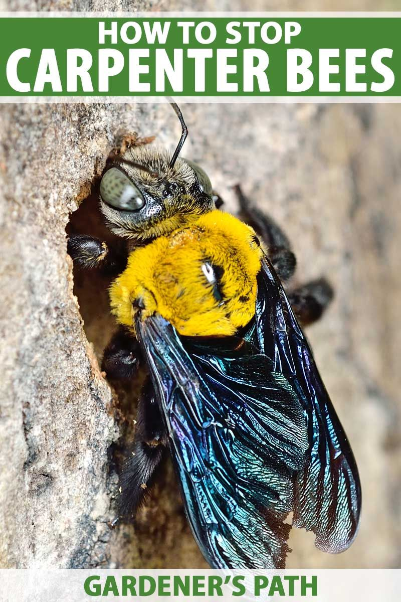 How To Stop Carpenter Bees From Destroying Your Wood Structures Carpenter Bee Getting Rid Of Bees Wood Bees