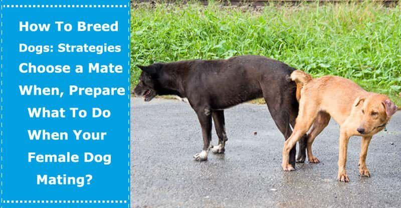 How To Breed Dogs Strategies Choose A Mate When Prepare What To Do When Your Female Dog Mating Dog Breeds Dog Breeding Business Dogs