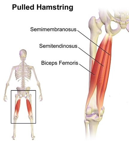Muscles Of Posterior Fascial Compartment Of The Thigh