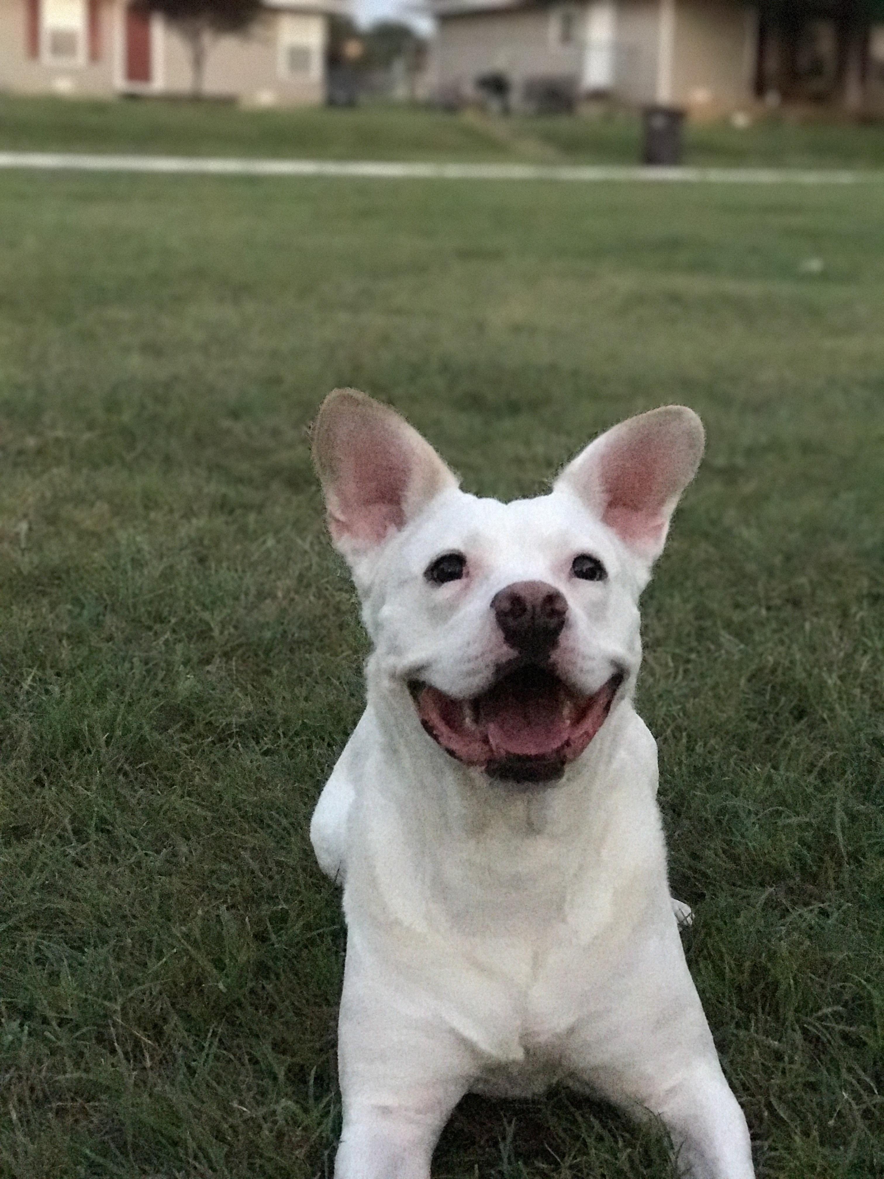 Fantastic Dogo Chubby Adorable Dog - 6925774b3c53948da33bb54f3f12fdf9  Trends_67702  .jpg