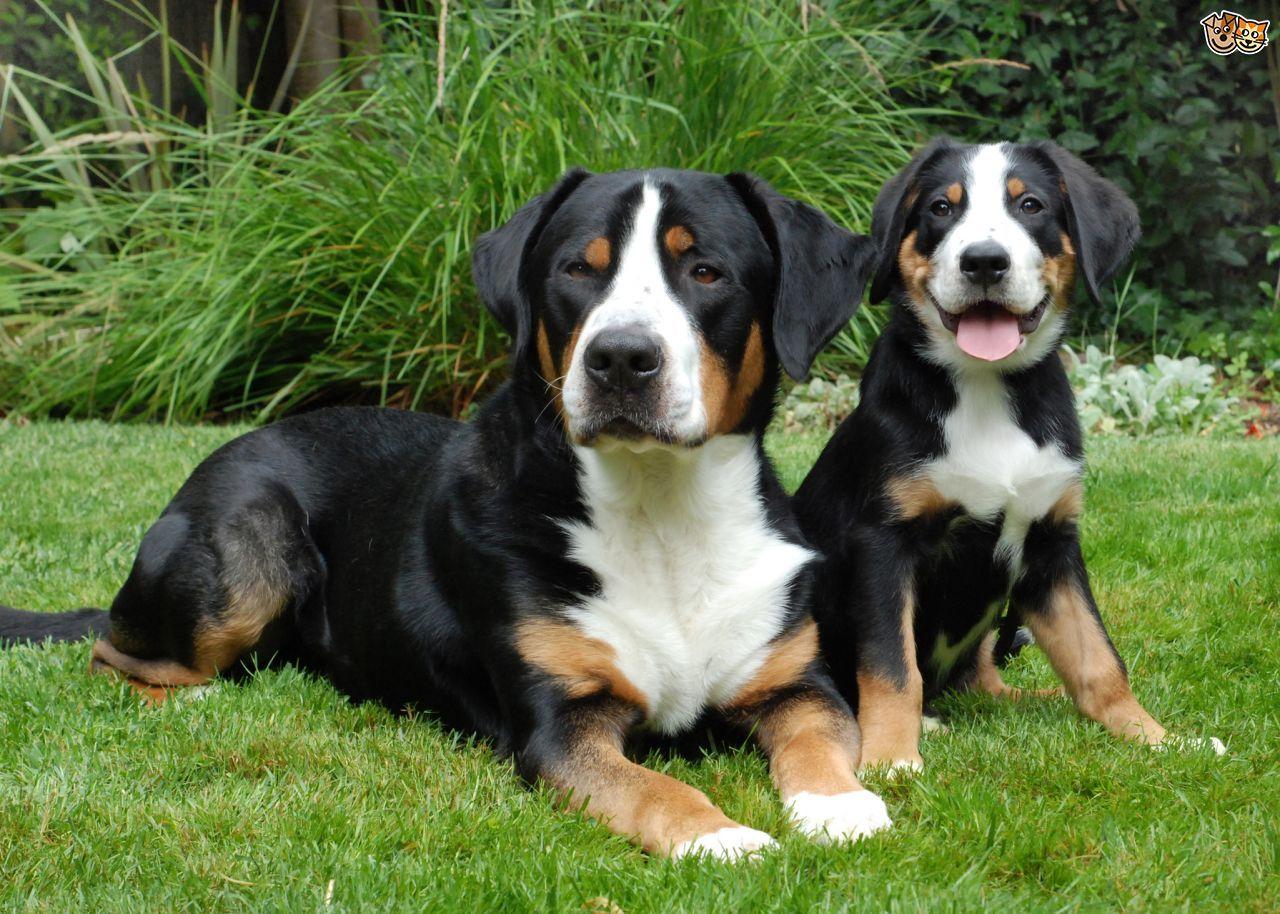 Pin Von Micke Auf Gssh Sennenhund Schweizer Sennenhund Hunderassen