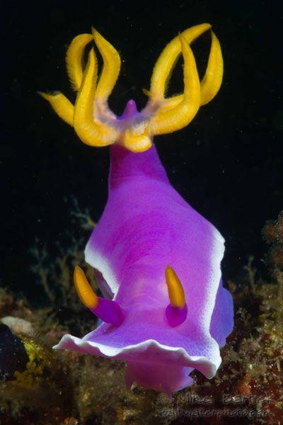 Nudibranch, Hypseledoris