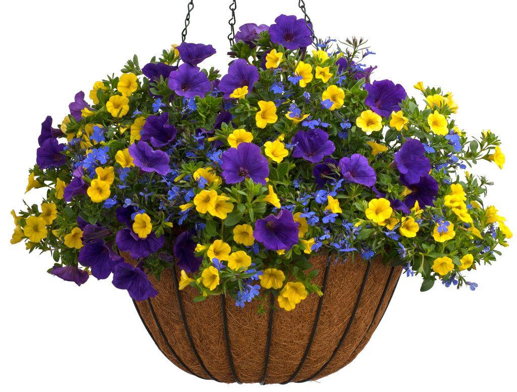 Lucia Dark Blue Lobelia Erinus Hanging Plants Plants For Hanging Baskets Hanging Garden