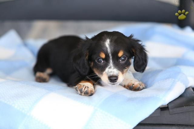 Crazy Adorable Chiweenie It S A Doggone Life Puppies Cute