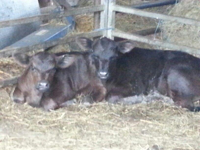 Lowline angus Miniature cows, Lowline angus, Farm animals