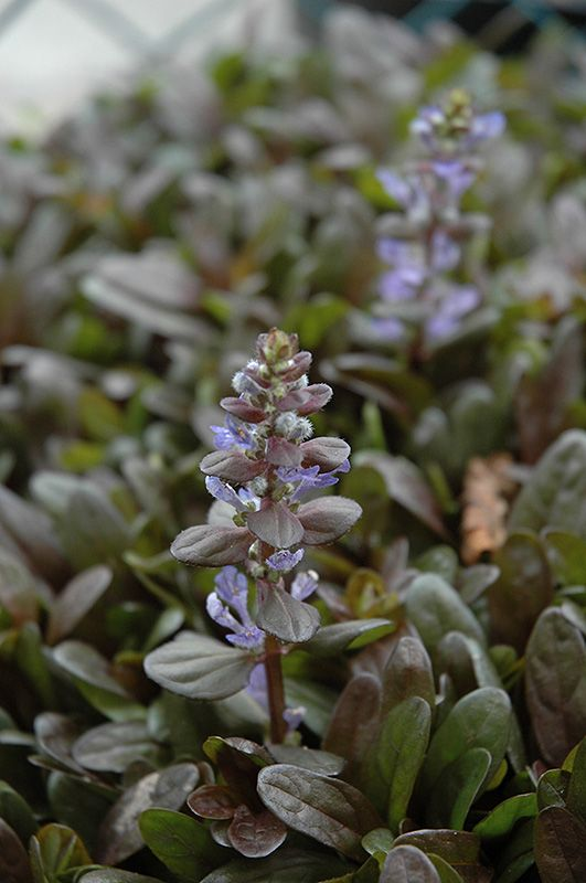 bachmans garden center. (Ajuga Reptans \u0027Chocolate Chip\u0027) In Crystal Lake Cary McHenry The Hills Illinois IL At Countryside Flower Shop \u0026 Nursery (Carpet Bugle) Bachmans Garden Center