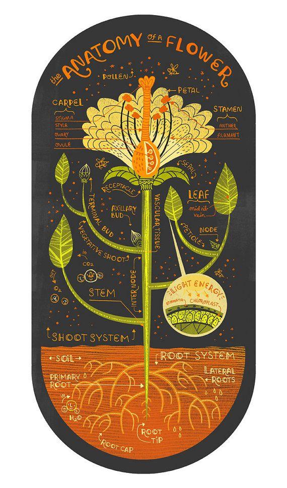 All three Plant Anatomy Art Prints DEAL | Anatomie kunst, Anatomie ...