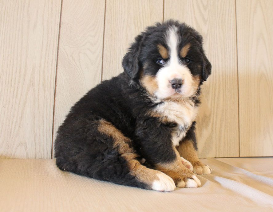 Jericho AKC Bernese Mountain pup for sale at Grabill
