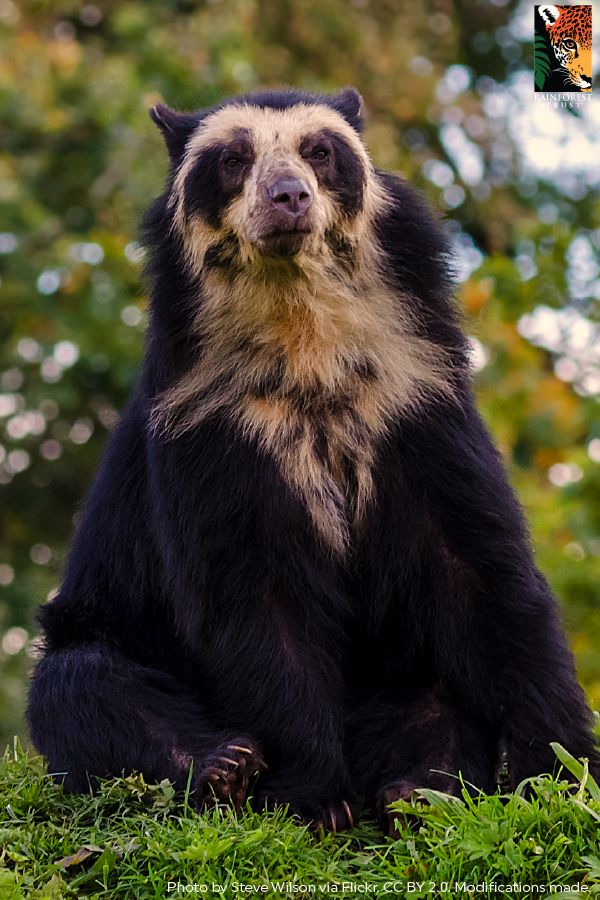 Spectacled Bears Get Their Name From Their Facial Markings These Markings Can Encircle Their Eyes And Lo Spectacled Bear Rainforest Habitat Animal Photography