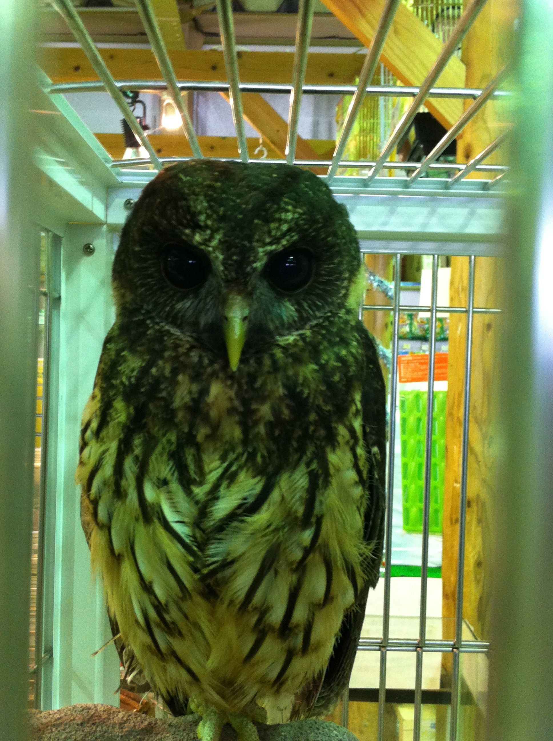 Pet Owl For Sale - Anna Blog