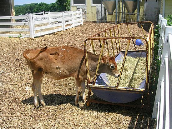 New Pond Farm calf