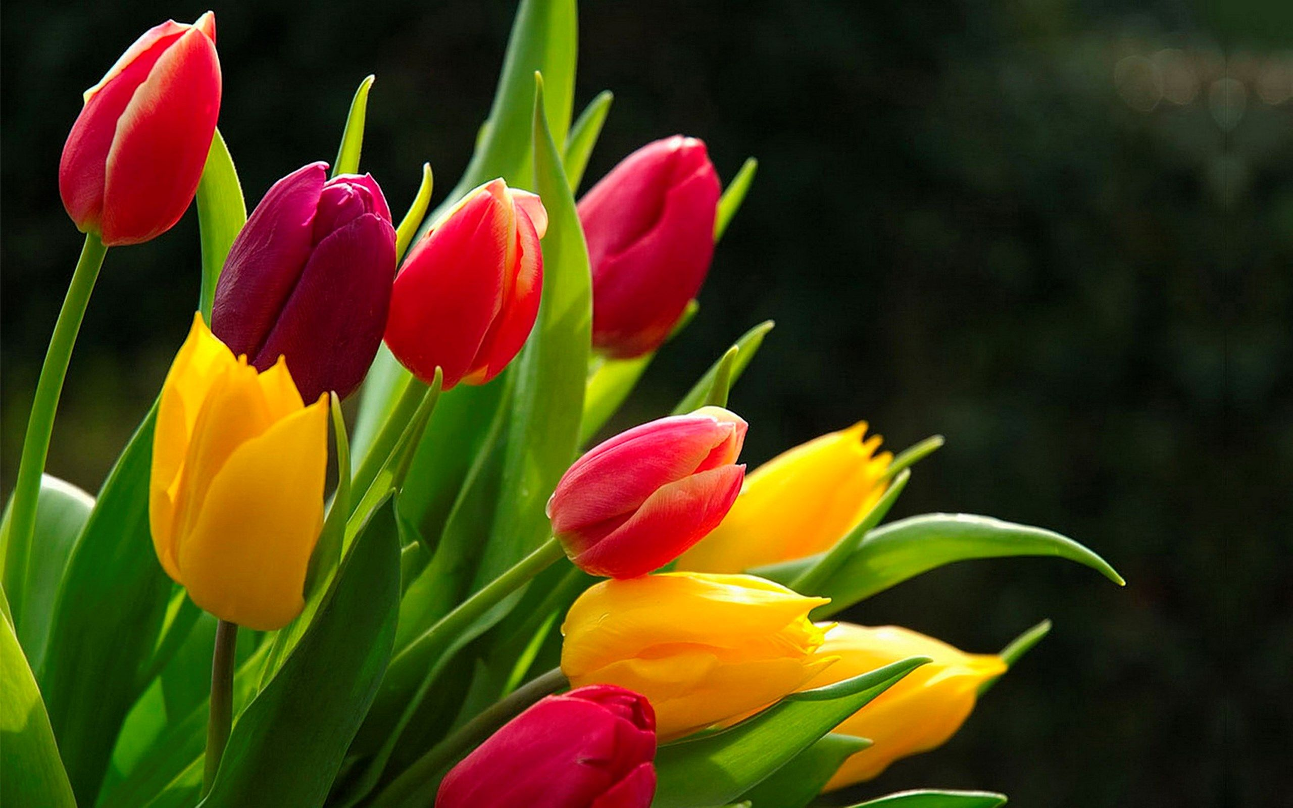 Tulip Picture To Download Hayward Chester 2560x1600