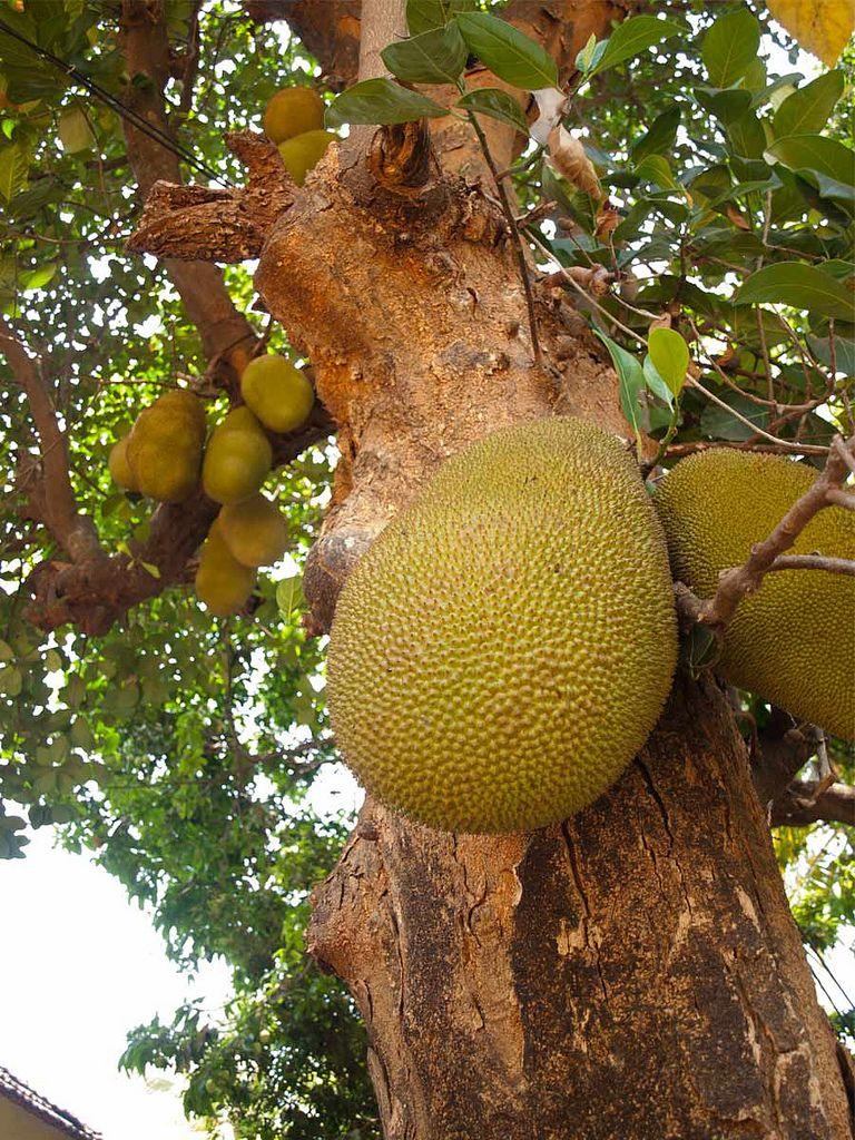 Tropical Fruit Garden India Diy Home Garden Shared Board