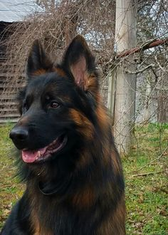 Long Coat German Shepherd Odin Panjo V Ljulin West German