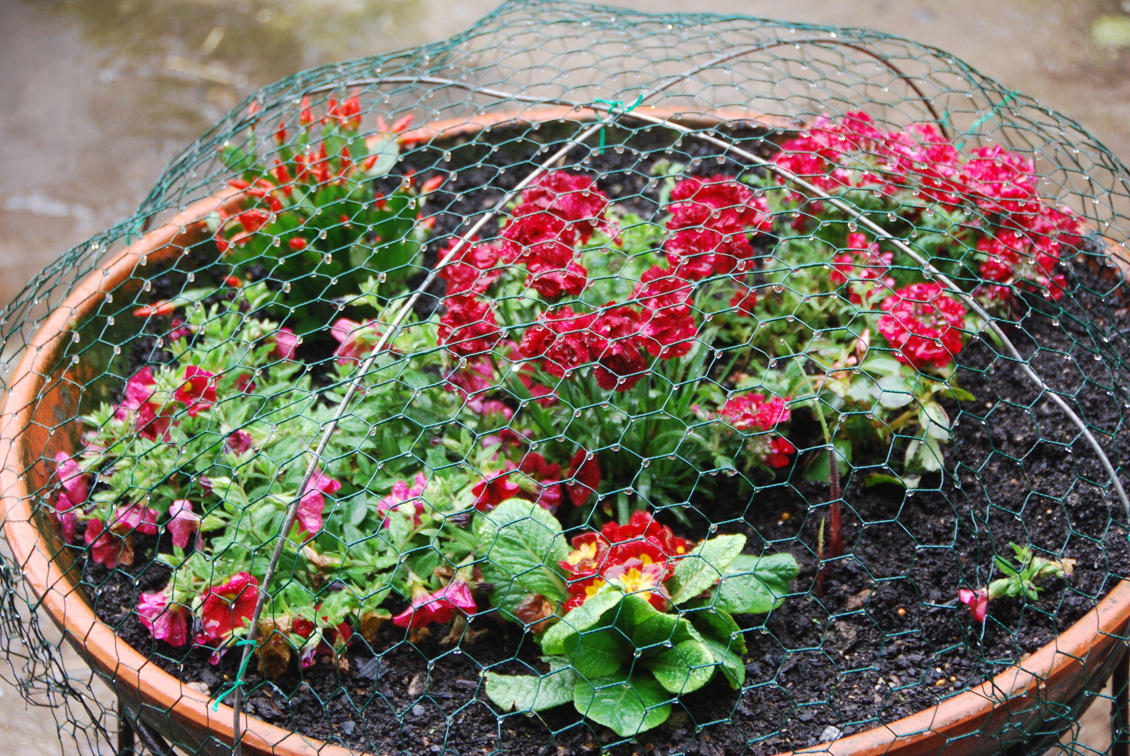 Vaso de terracota com flores vermelhas. Tive que fazer uma cobertura em rede para as proteger dos patos.