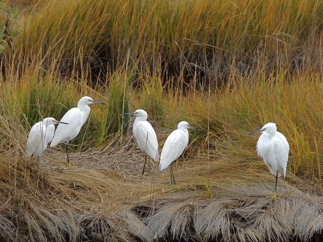 Snowy Egrets On Fall Grasses Photo By Nancy Tully Bird Photo Beautiful Birds Butterfly Fish