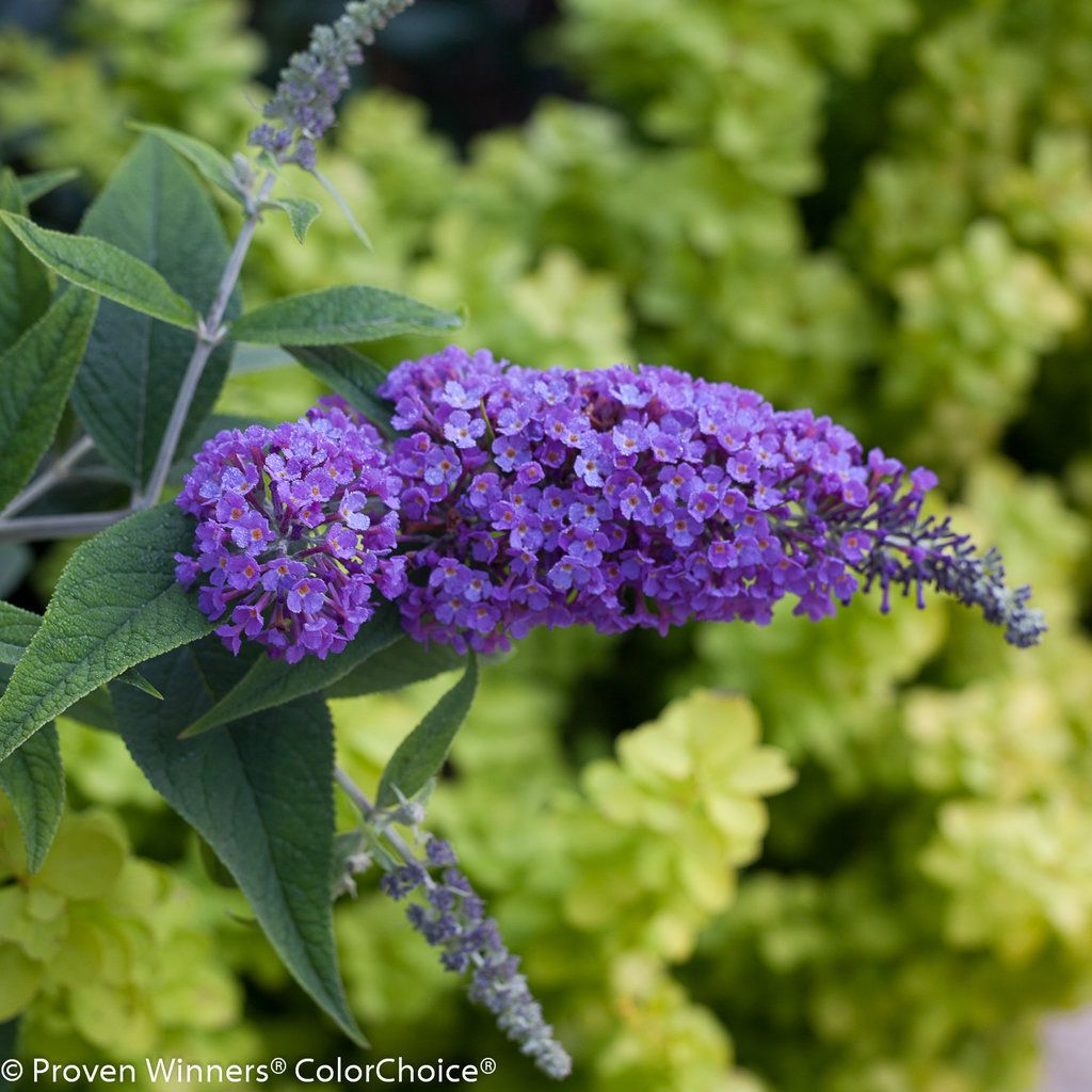 Lo Behold Purple Haze Butterfly Bush Buddleia X Butterfly