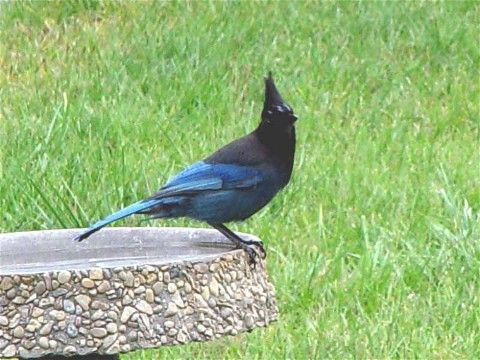 Pacific Northwest Birds Identification | Steller's Jay ...