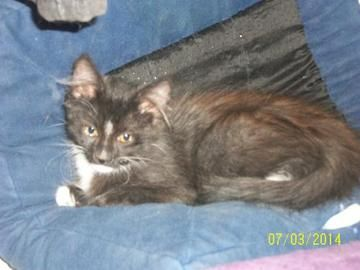 Check out Tulip's profile on AllPaws.com and help her get adopted! Tulip is an adorable Cat that needs a new home. https://www.allpaws.com/adopt-a-cat/domestic-medium-hair-mix-maine-coon/1269476?social_ref=pinterest