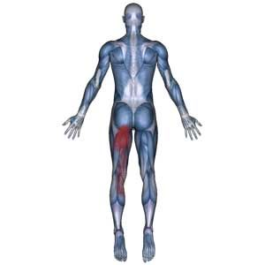 Semitendinosus Muscle: Buttock, Thigh, Knee, Calf Pain-Hamstring Muscle - The Wellness Digest
