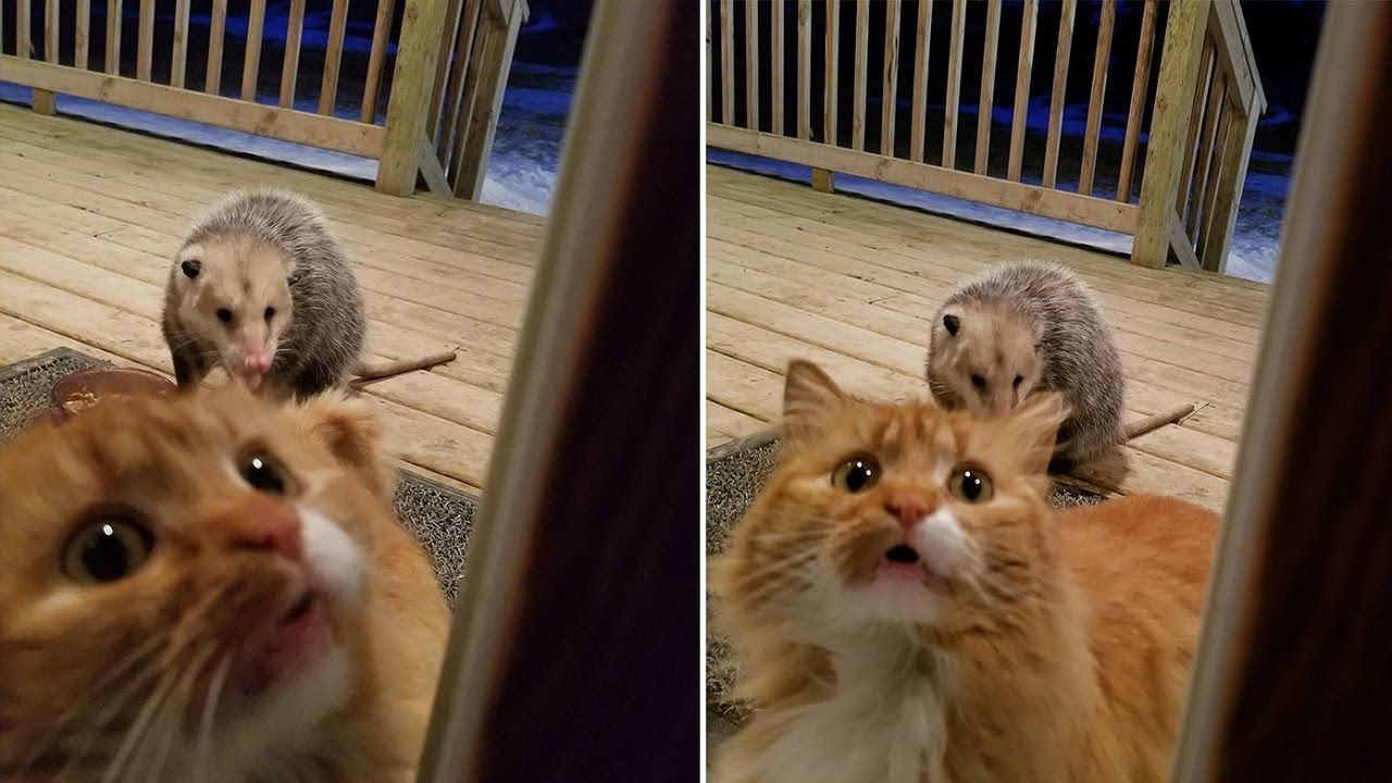This Possum Eating Her Food And The Cat's Reaction Is