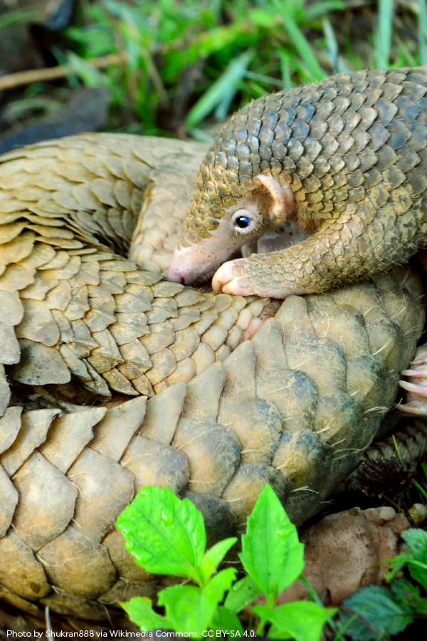 Pangolins get their name from their special defensive