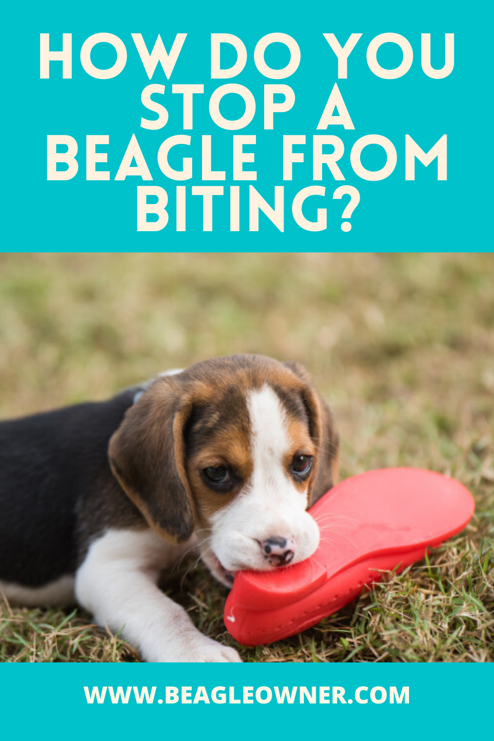 How Do You Stop A Beagle From Biting In 2020 Losing A Dog Beagle Puppy Biting
