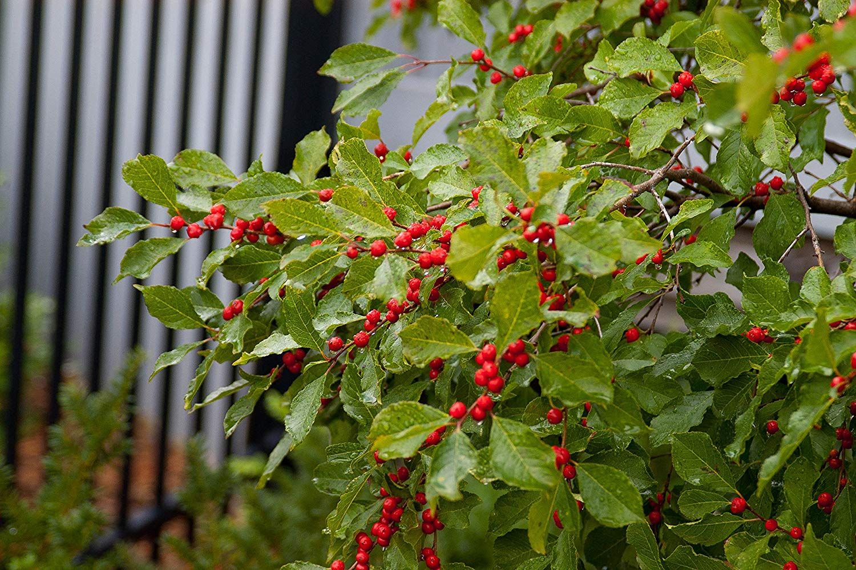 Ilex Verticillata Wildfire Winterberry Shrub Bright Red Fruit 3 Size Container Farmers Market Flowers Small Yellow Flowers Small Ornamental Trees